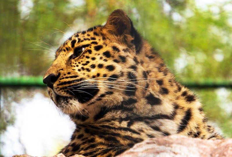 一头美丽的豹子的画象 库存照片