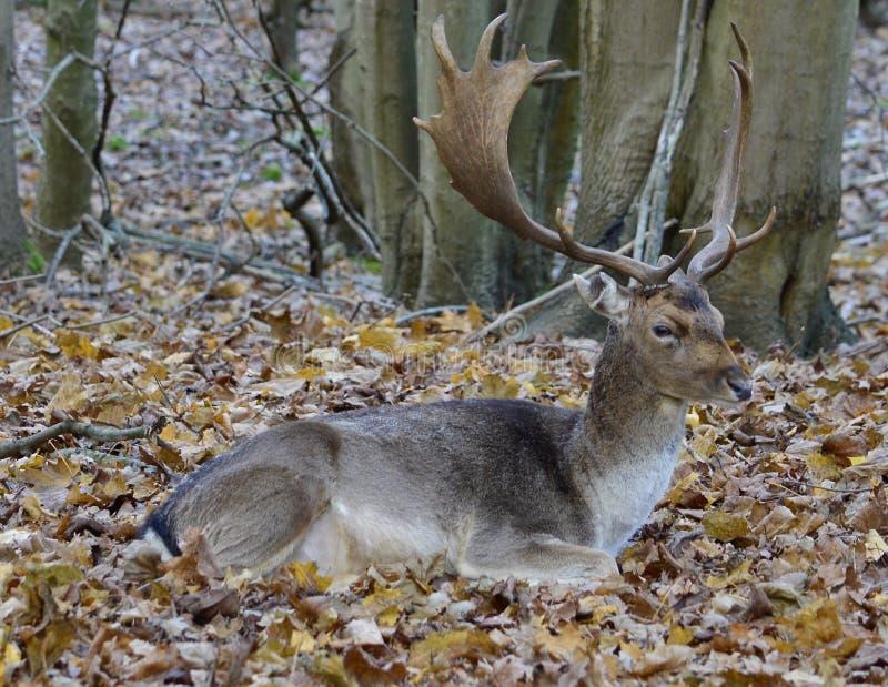 一头美丽的鹿 库存图片