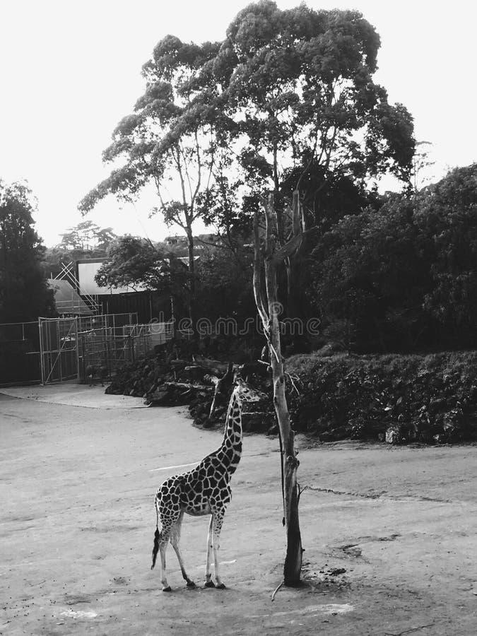 一头长颈鹿在动物园里 免版税库存照片