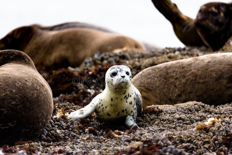 一头非常好奇小的海狮 库存图片