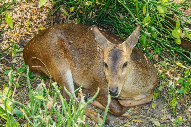 一头鹿在庭院里我 库存照片