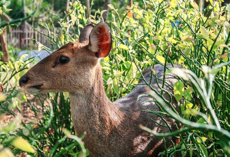 一头鹿在庭院II里 库存照片