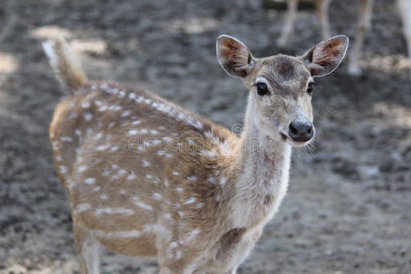 一头鹿的侧视图在森林的 免版税库存图片