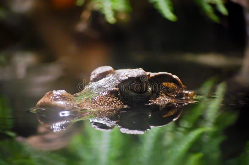 一aligator的头在水中围拢与植物 免版税库存照片