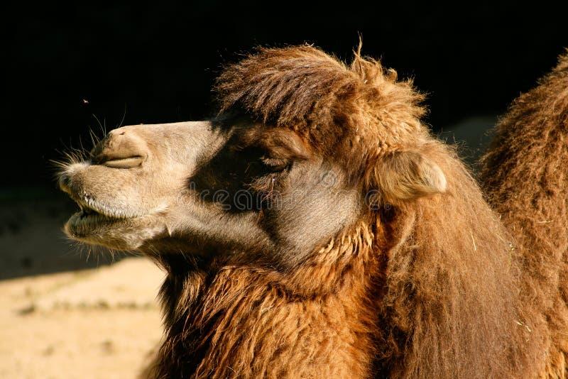 一Bactrian或亚洲骆驼骆驼属bactrianus的短球 库存图片