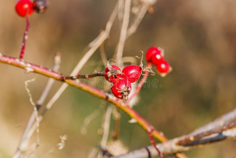 一dogrose的成熟莓果在分支特写镜头的 免版税库存图片