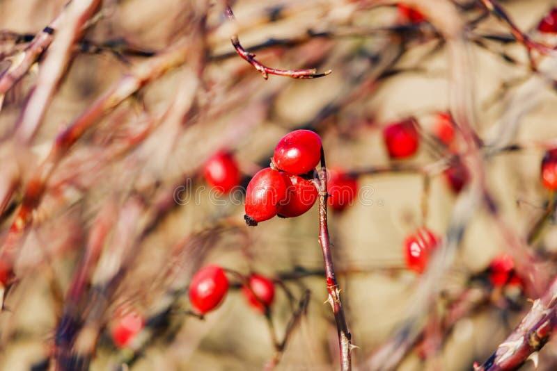 一dogrose的成熟莓果在分支特写镜头的 免版税图库摄影
