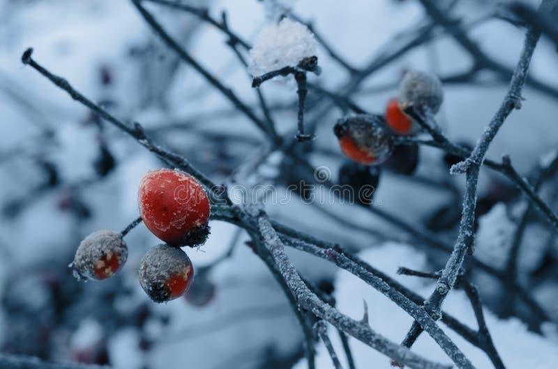 一dogrose的红色莓果在灌木和报道用在a的树冰 免版税库存图片