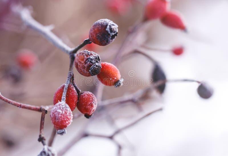 一dogrose的莓果在树冰关闭的照片 库存图片