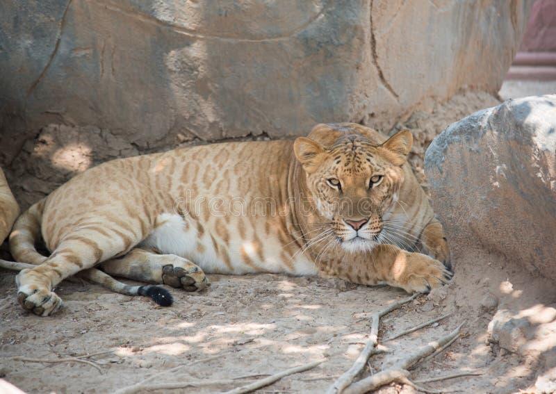 一liger的图象在自然背景的 库存图片