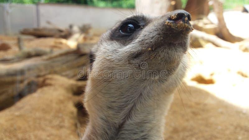 一meerkat在一个动物园里在德国 库存照片
