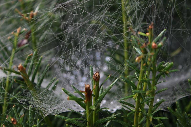 一spiderweb在绿色植物中 免版税库存图片