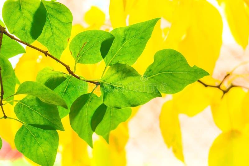 丁香黄色小�_丁香叶子在黄色梨背景的离开