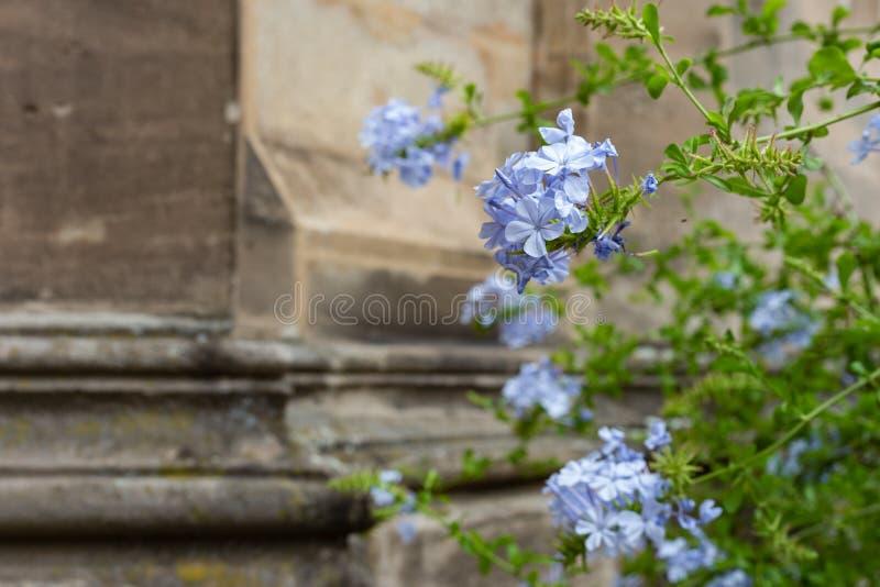 丁香和绿色上色了在古老教会门面的花 免版税图库摄影