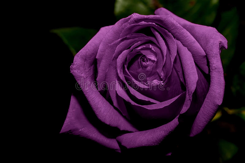 丁香玫瑰黑色背景 免版税库存图片