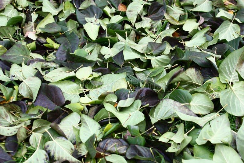 丁香的跌倒的叶子 免版税库存照片