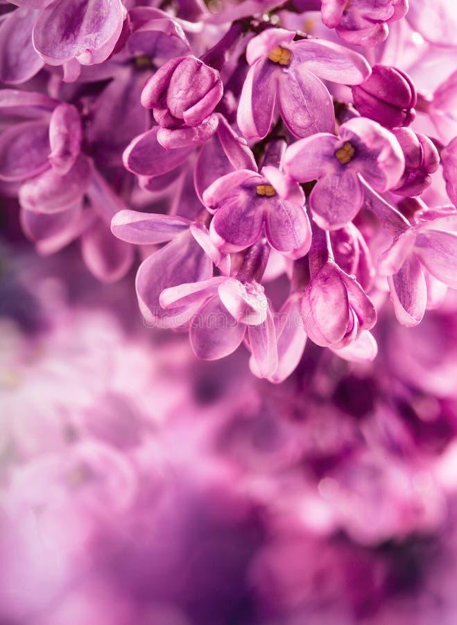 丁香 淡紫色紫色 紫色丁香花束  美丽的花丁香-接近  婚姻浪漫花卉backgroun的华伦泰 库存照片