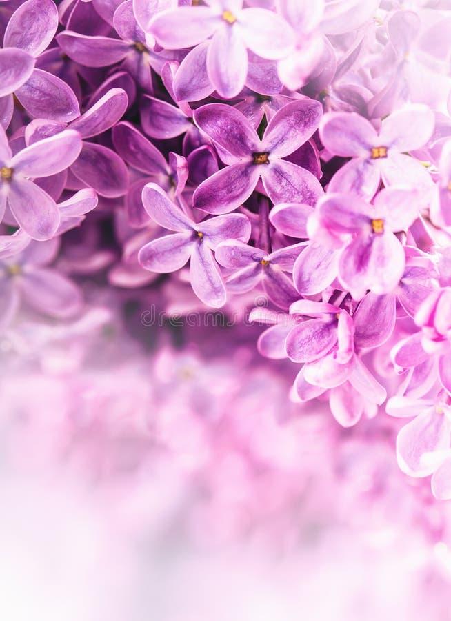 丁香 淡紫色紫色 紫色丁香花束  美丽的花丁香-接近  婚姻浪漫花卉backgroun的华伦泰 免版税库存照片