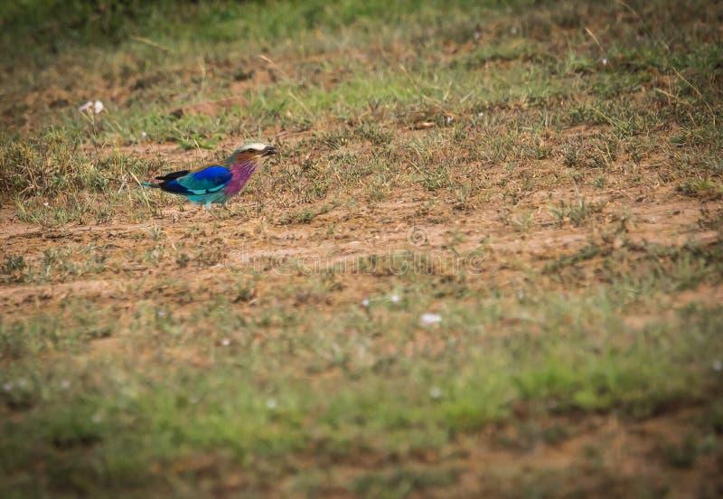 丁香breasted在马塞语玛拉, Kenia的路辗 免版税库存照片
