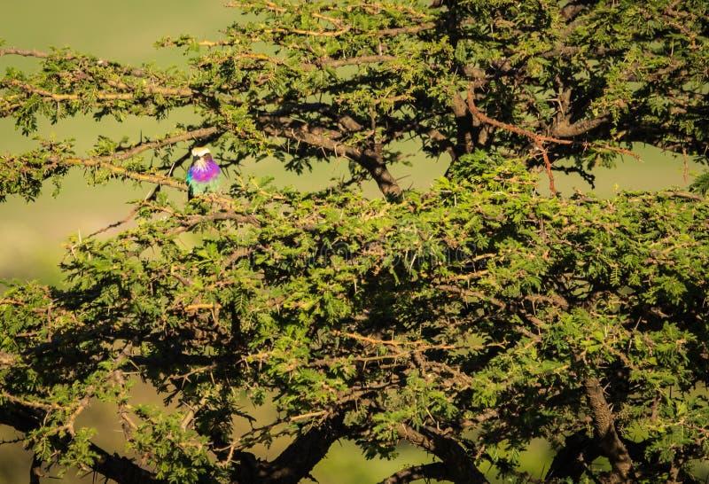 丁香breasted在马塞语玛拉, Kenia的路辗 库存照片