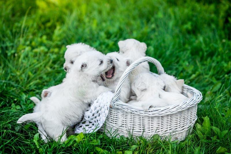 七只在一个篮子的小狗西部高地白色狗与在背景的美好的光 免版税图库摄影