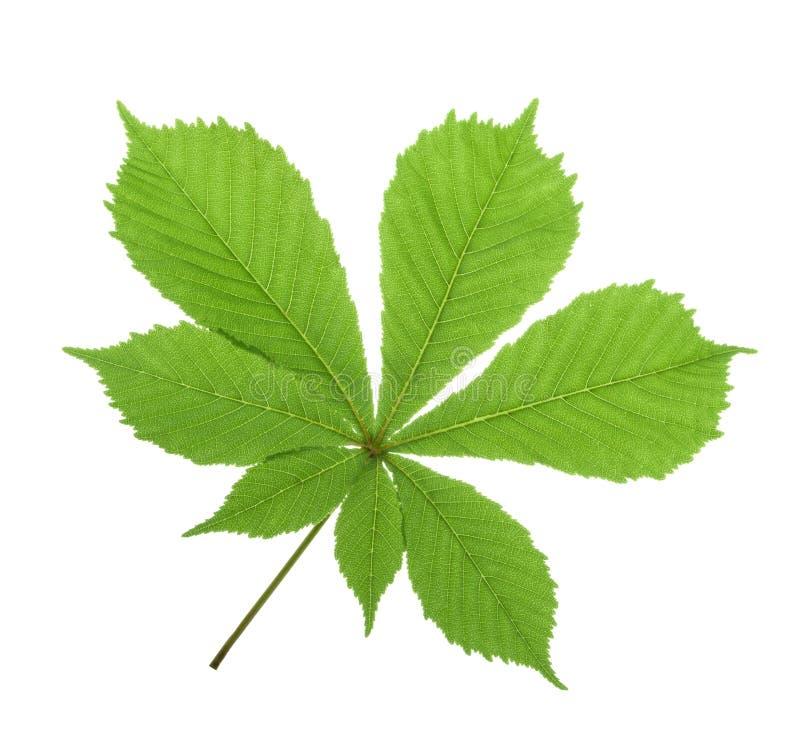 七叶树(七页树属hippocastanum,七叶树果实树)叶子isolat 库存照片