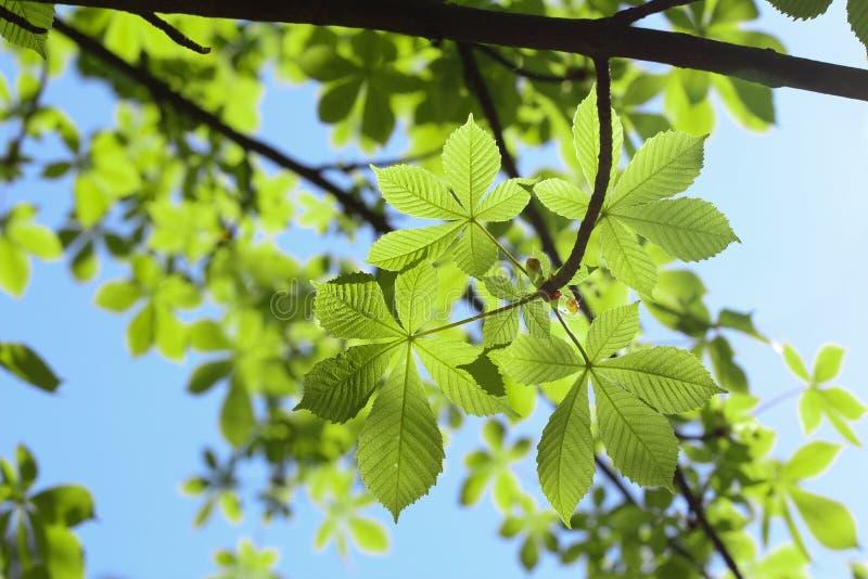 七叶树绿色叶子  库存照片