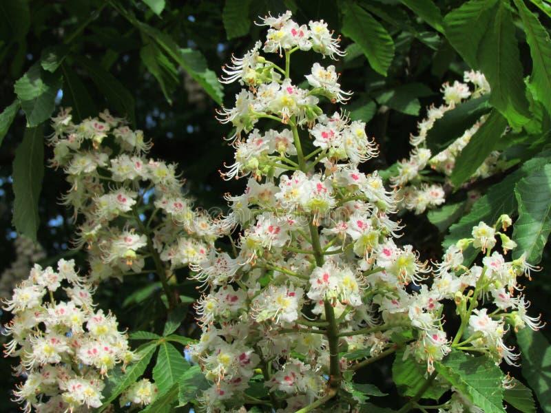 七页树属hippocastanum花细节,七叶树果实开花可以,开花在春天的树 图库摄影