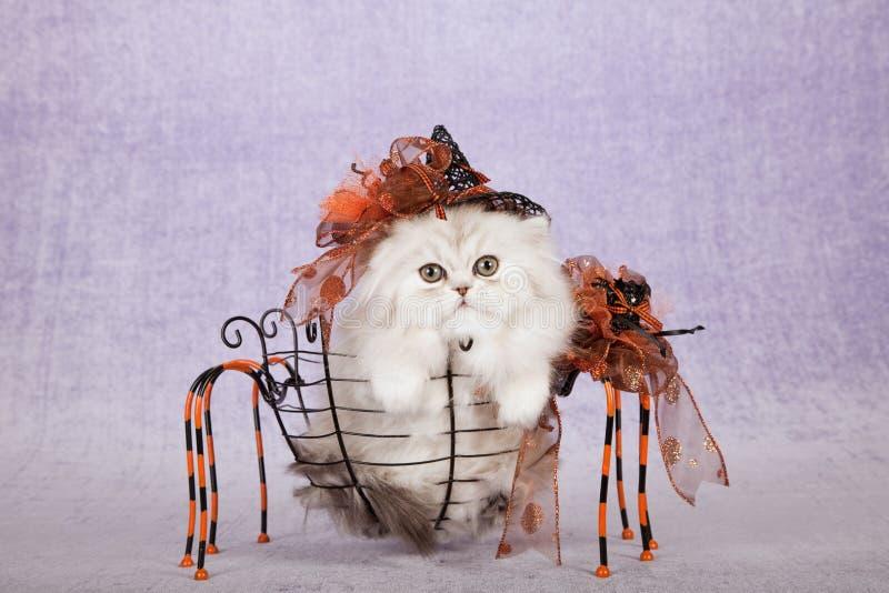 戴万圣夜巫婆帽子的银色黄鼠小猫坐在蜘蛛形状金属篮子里面 免版税库存图片
