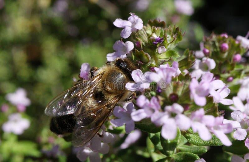 万客隆关闭开花的麝香草灌木胸腺寻常与被隔绝的蜂授粉 库存照片