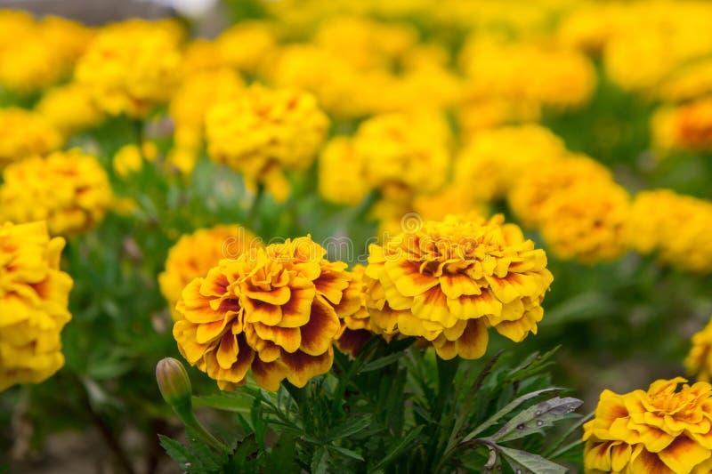 万寿菊在庭院在夏天,黄色花,好漂亮的东西或人里开花 免版税库存图片