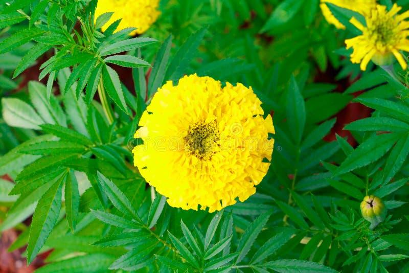 万寿菊在树的花黄色在与拷贝空间的庭院美好的背景中增加文本金盏草花 库存照片