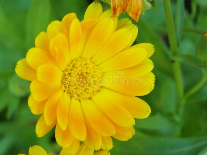 万寿菊在黄色树荫下 免版税图库摄影