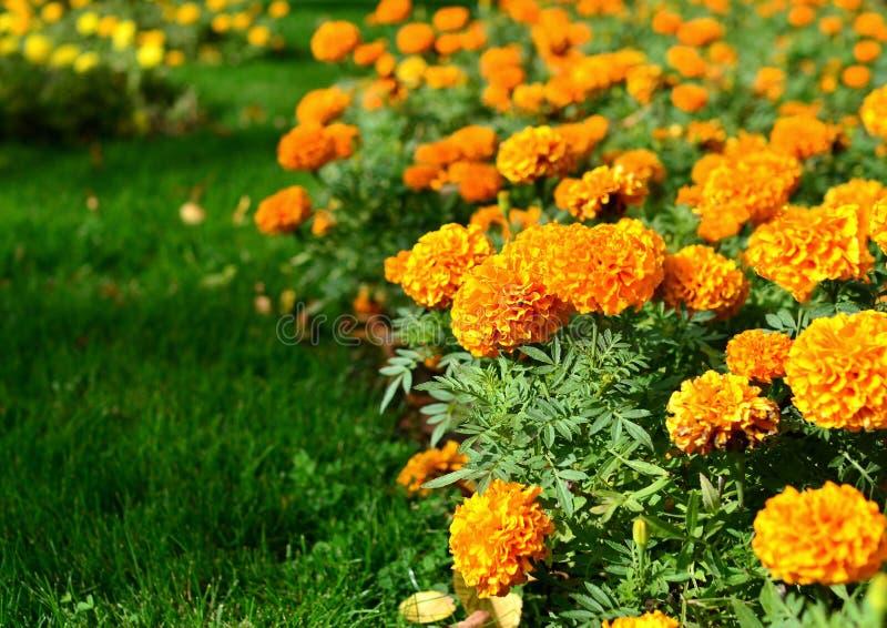 万寿菊大橙色花在一张花床上开花在一个热的夏日 免版税图库摄影