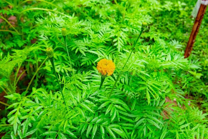 万寿菊植物或万寿菊花 免版税库存照片