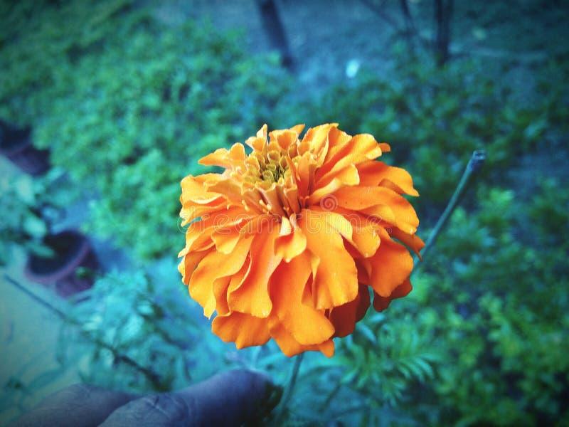 万寿菊橙黄绿色花天射击阳光 库存图片