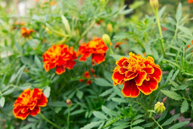 万寿菊红橙色花在一张花床上的在庭院里 选择聚焦 免版税库存图片