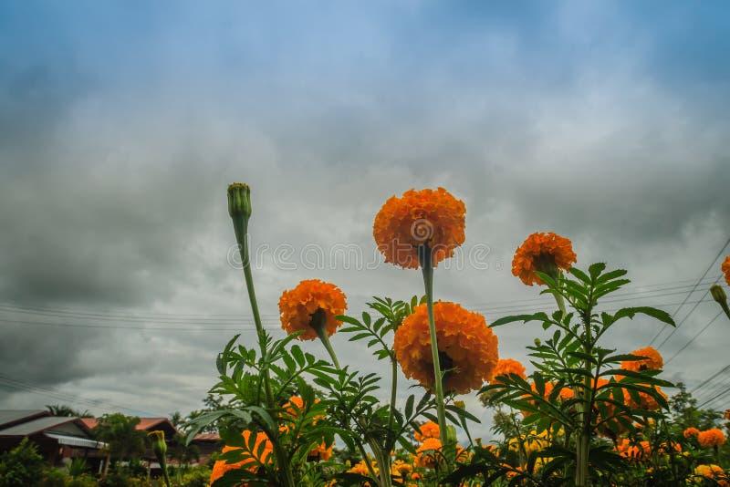 万寿菊花农田 生长与黄色花的万寿菊树的布什在农场 免版税库存照片