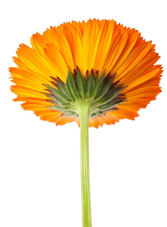Download 万寿菊花冠 库存图片. 图片 包括有 宏指令, 图象, 开花, 花粉, 花卉, 绽放, 抽象, 万寿菊, 工厂 - 30336965