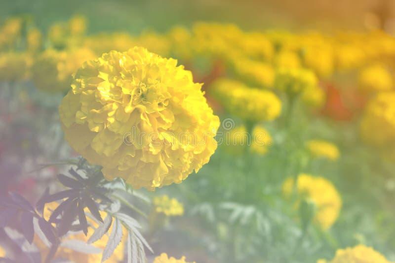 万寿菊花开花的轻的迷离背景 免版税库存照片
