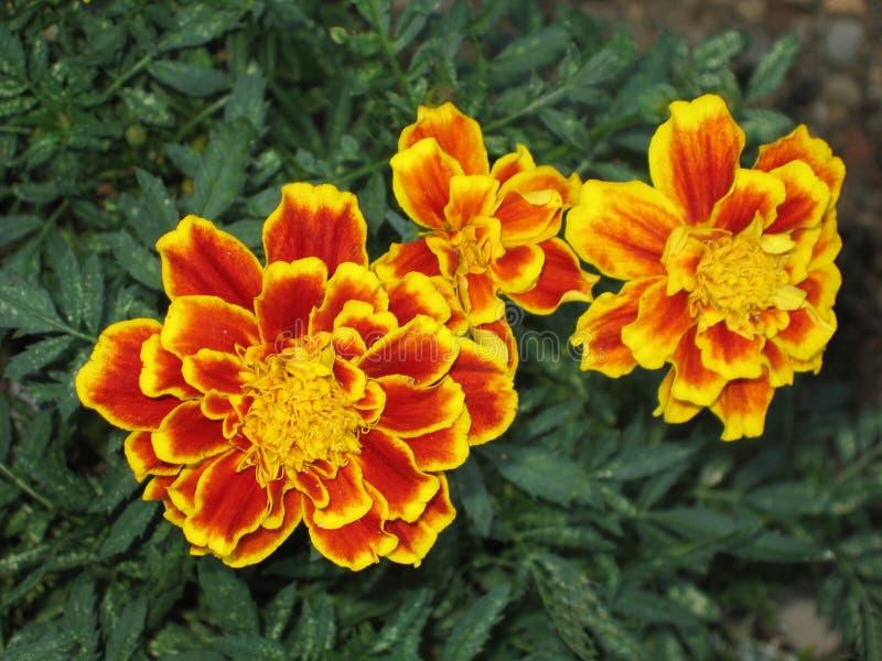 Download 万寿菊 库存图片. 图片 包括有 万寿菊, 叶子, 工厂, 照亮, 花卉, 庭院, 红色, 五颜六色, 黄色 - 178835