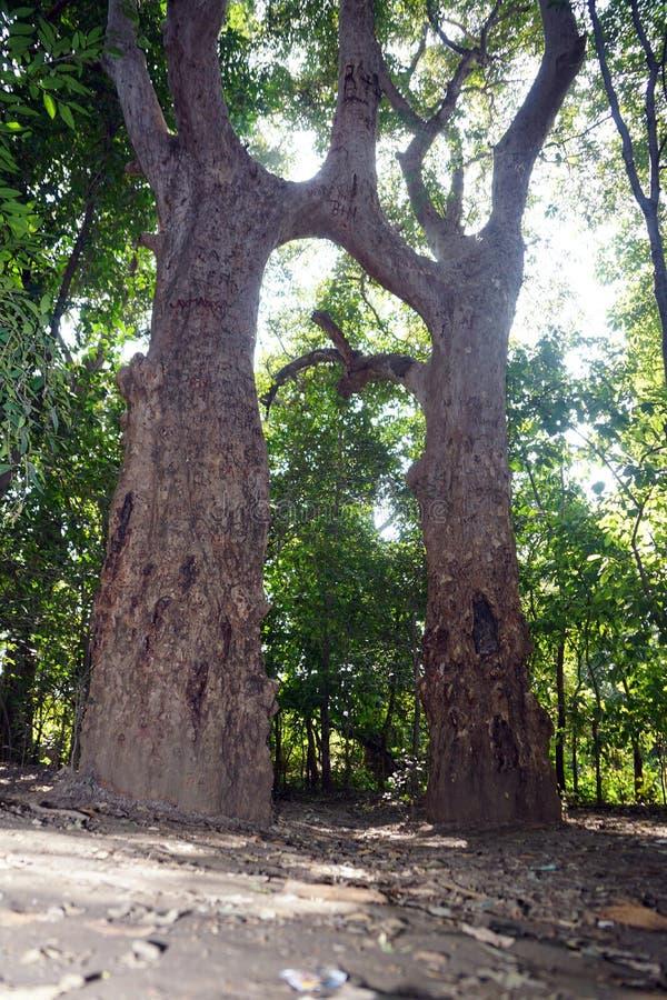 丈夫妻子树! 库存图片