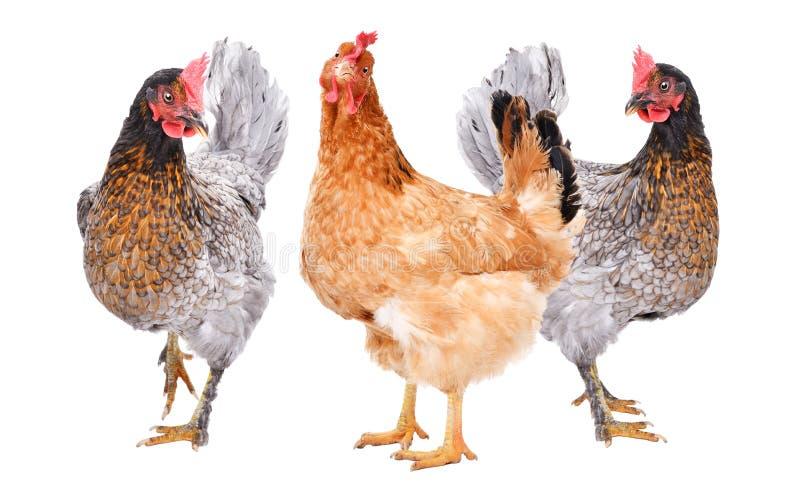 三一起站立的鸡 库存照片