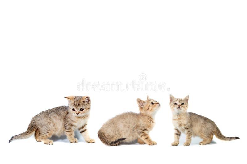 三与拷贝空间的小猫苏格兰straights拼贴画横幅与文本的地方白色的隔绝了背景 图库摄影