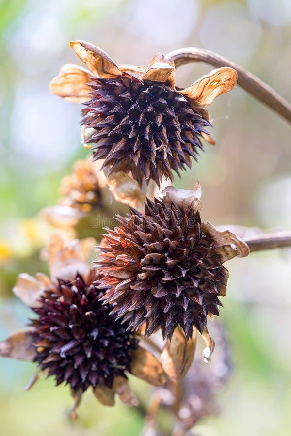 三个墨西哥向日葵种子头 免版税库存照片