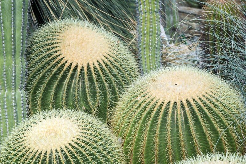 三个尖刻的Echinocactus grusonii仙人掌 免版税图库摄影
