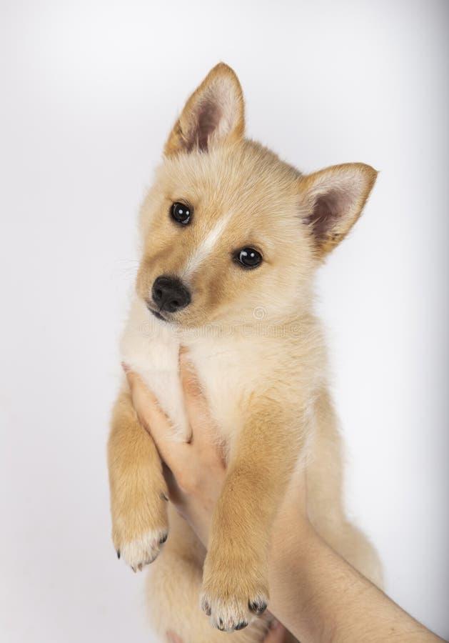 三个月在白色背景的杂种小狗 库存照片