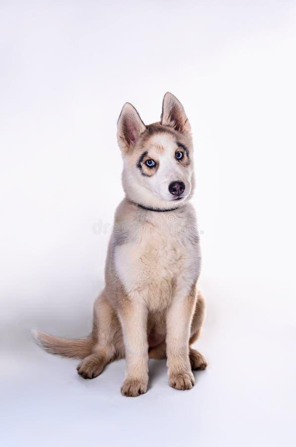三个月在轻的背景的白米黄多壳的小狗 库存图片