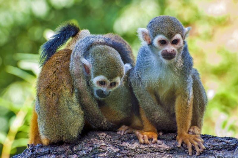 三个朋友-松鼠猴子-松鼠猴属sciureus 库存图片
