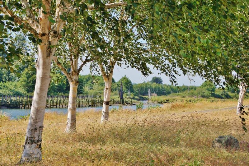 三个桦树线在高干草的沿河在一个晴天 免版税库存图片